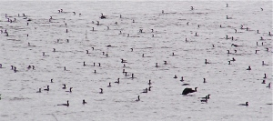 A school of cormorants pillages the waters of Lake D'Arbonne