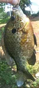 It's time for big ol' bream like this one!