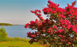 Watermelon colored crepe myrtles line Hwy. 33 coming into Farmerville at the lake.