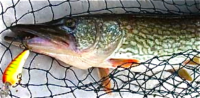 Jackfish walleye and stripers part1 lake darbonne life for Lake d arbonne fishing report