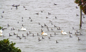 Cormorants like to invite a few white pelican buddies along to clean up any scraps of fish they might miss.
