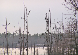 Cormorants roosting on D'Arbonne