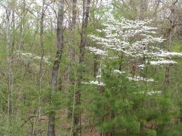 Dogwoods are blooming. The official sign that spring fishing is here!
