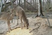 deerfeeder