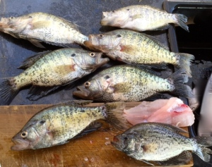"I've been blessed with a few good ""fish fry"" catches this week."