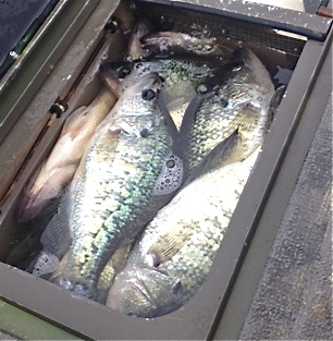This livewell full of crappie was caught this week on the 'Bone by Jeff McCain. Just one of them might be worth $500 in Saturday's tournament.