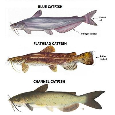 CATFISH-SPECIES