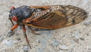 cicada_0